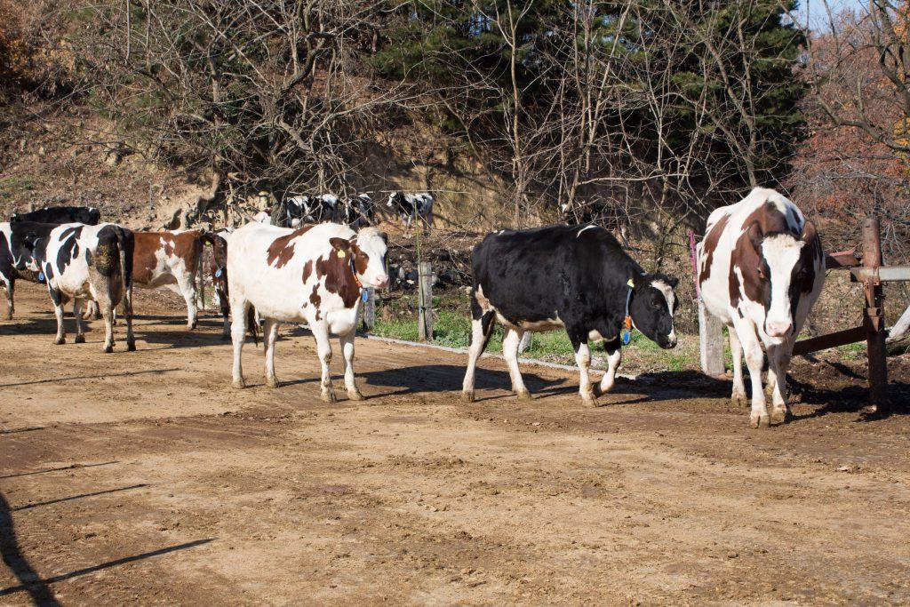 牛がたくさんいます