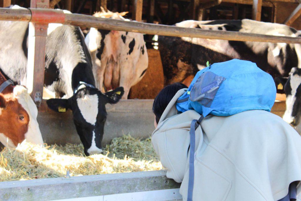 牛をのぞきこむマユちゃん