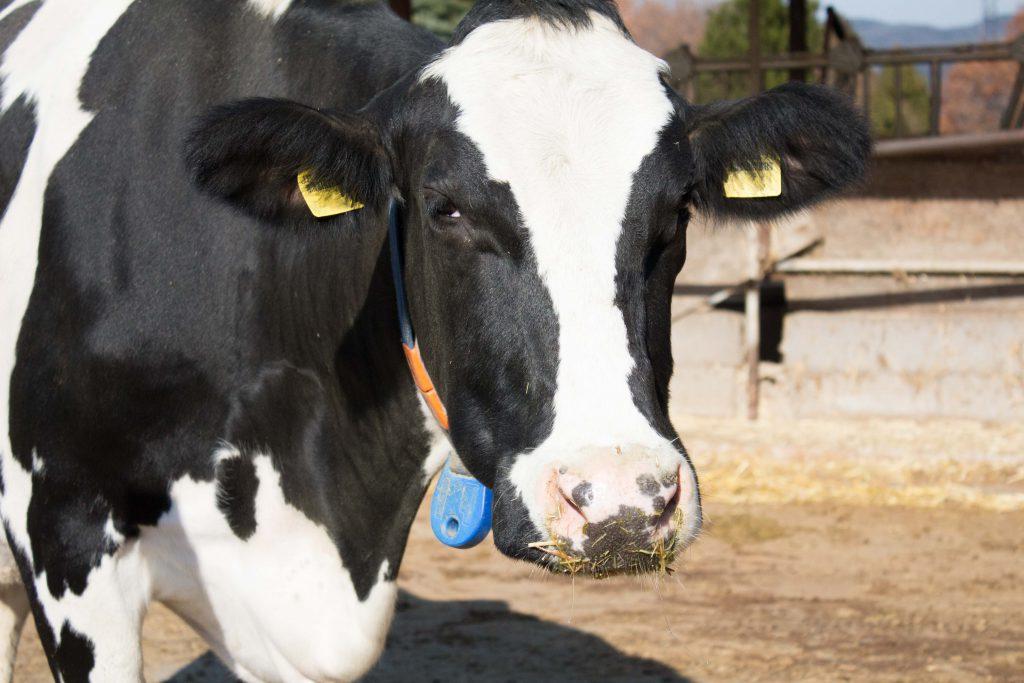 牛のアップ